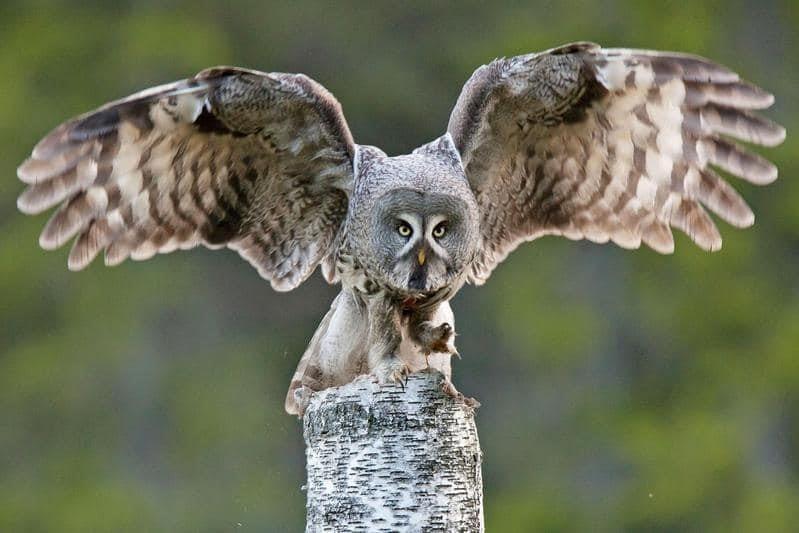 貓頭鷹,雪鴞