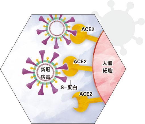 【冠狀病毒大解構】SARS、MERS、COVID-19 侵入人體4部曲