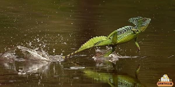 [停課不停學] 精通「輕功水上漂」的雙冠蜥(自然科學篇)