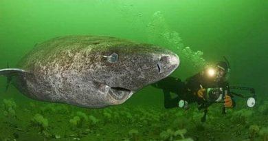 [停課不停學] 比海龜更長壽的格陵蘭鯊 (自然科學篇)