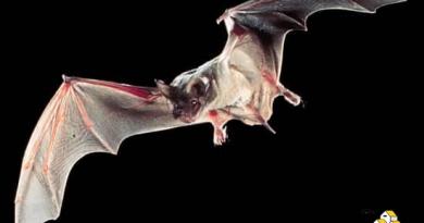 [停課不停學] 從禦寒法看蝙蝠的抗逆力 (自然科學篇)