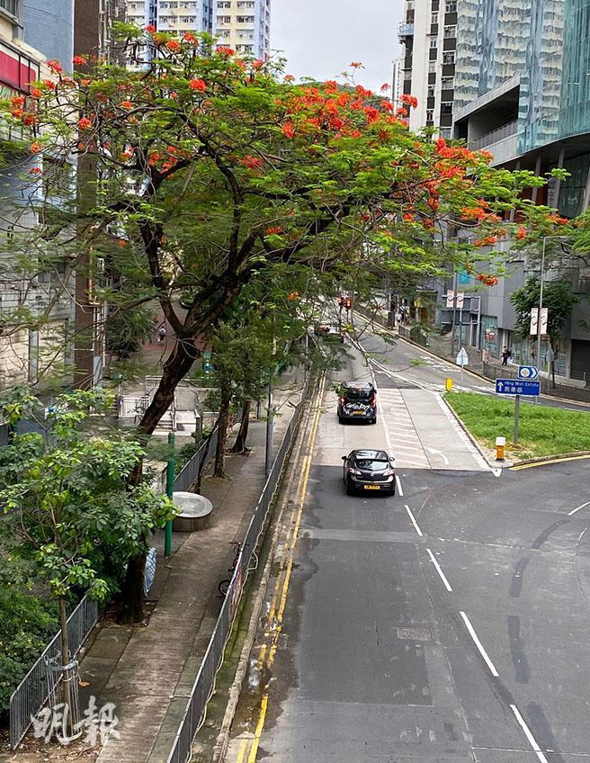 【有片】鳳凰木開花各區綻放 維園、屯門公園細賞五瓣紅花
