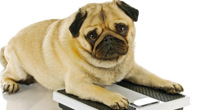 【肥胖警號】無腰、摸不到肋骨 毛孩減磅忌急 邊吃邊玩甩脂