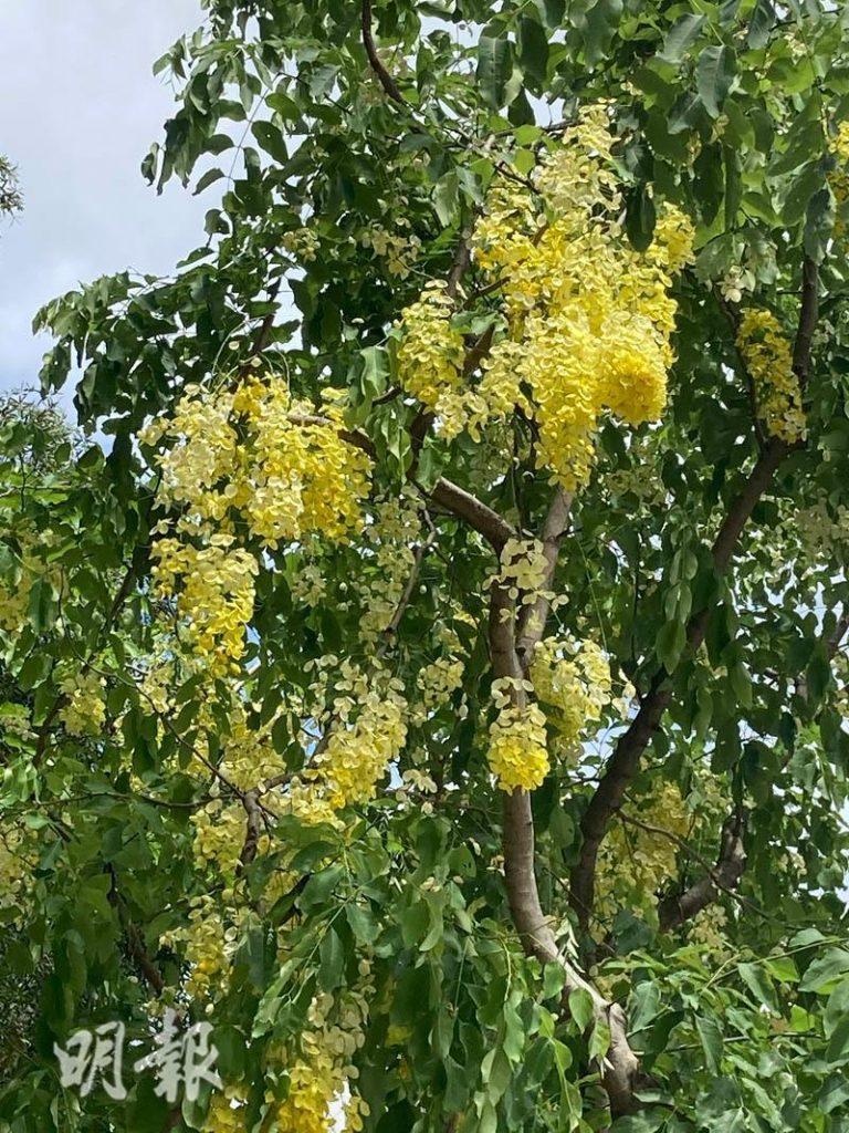 豬腸豆夏天開花 黃色花串如灑「黃金雨」