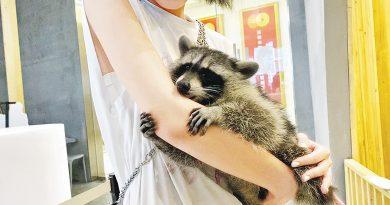 【遊走大灣區】親親羊駝小浣熊 寵物咖啡店 主子「萌爆」黏人