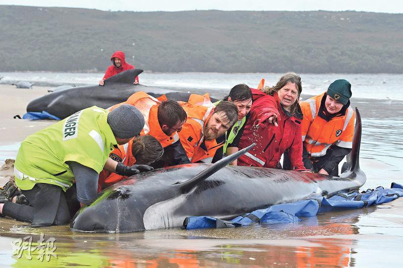 270條領航鯨擱淺塔斯曼尼亞淺水區 救援人員如何營救鯨魚回海中?
