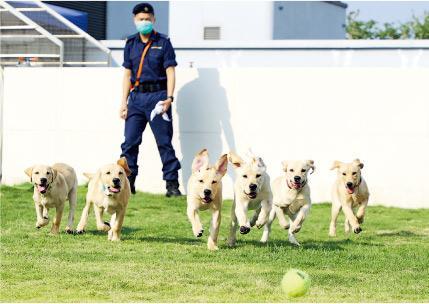 狗狗也上堂 接受資歷認證課程訓練 做海關搜查犬