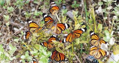 越冬斑蝶丨深水灣逾1500越冬斑蝶創新高 最愛棲息小型河谷、雜木林