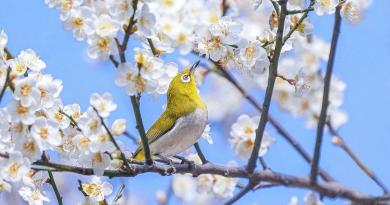 【多圖】太和農墟梅花盛放中 攝影愛好者必到