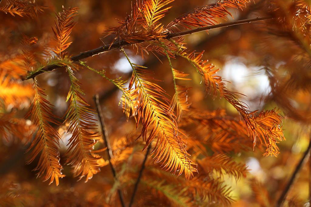 遊流水響、濕地公園 落羽杉為什麼會變紅?