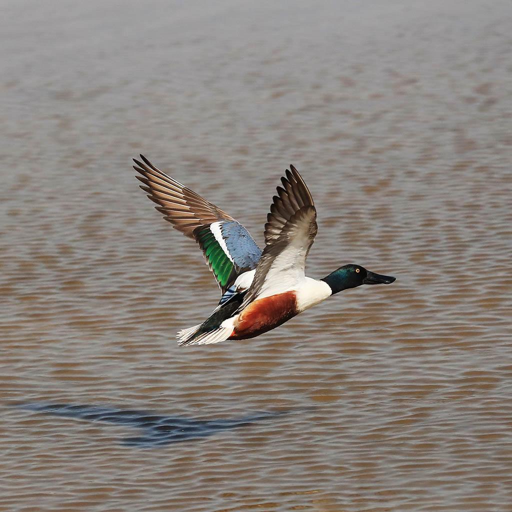 鴨子出沒注意!濕地公園冬天「常客」 琵嘴鴨、針尾鴨、赤頸鴨仲有......