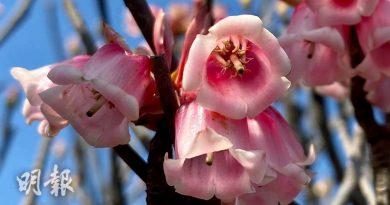立春花開|農曆新年前後開花 吊鐘花迎新歲 西貢大枕蓋、鹿湖郊遊徑尋芳蹤