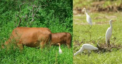 牛背鷺愛騎牛搵「食」?跟白鷺有什麼不同?拆解與牛牛形影不離的秘密