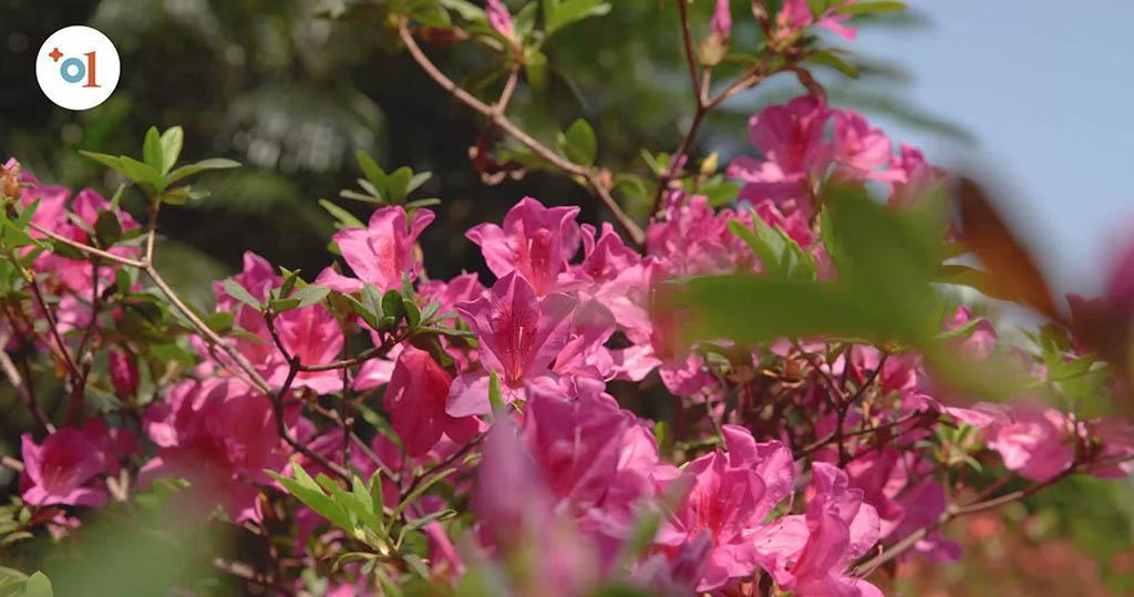 Online賞花丨3.7動植物公園舉辦「虛擬遊園賞杜鵑」 免費報名【附報名連結】