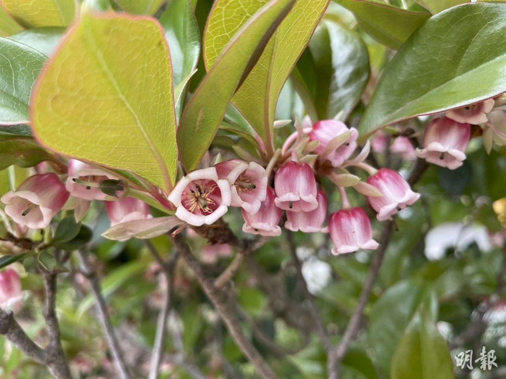繡球樹、錦繡杜鵑、吊鐘、石斑木 動植物公園3月處處花蹤(多圖)