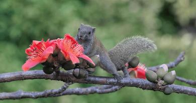 松鼠出沒注意!木棉開花吸引赤腹松鼠 清晨喝朝露 港島新界出現率高