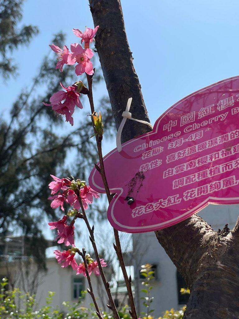 【櫻花賞。綠化日】華威酒店 x 長洲關公忠義亭 重建賞櫻熱點 市民抓緊賞櫻時機