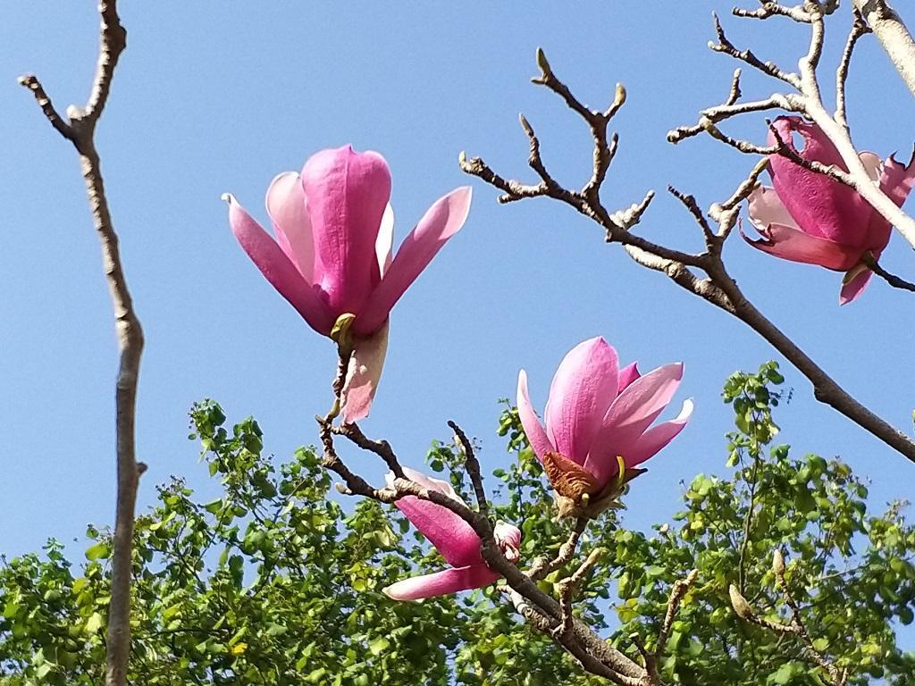 樹博士教你花瓣、樹葉、樹高分辨二喬木蘭與紫玉蘭