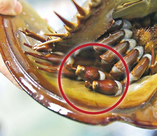 馬蹄蟹不是蟹?Blue Blood可製試劑 食腐肉改善水質