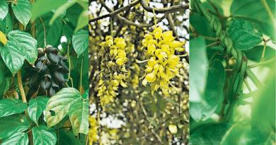 油麻藤又叫禾雀花?香港稀有植物同八仙傳說有關!