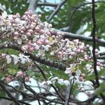 古樹開花丨中環稀有古樹節果決明開花 粉紅夾白花串春意盎然【有片睇】