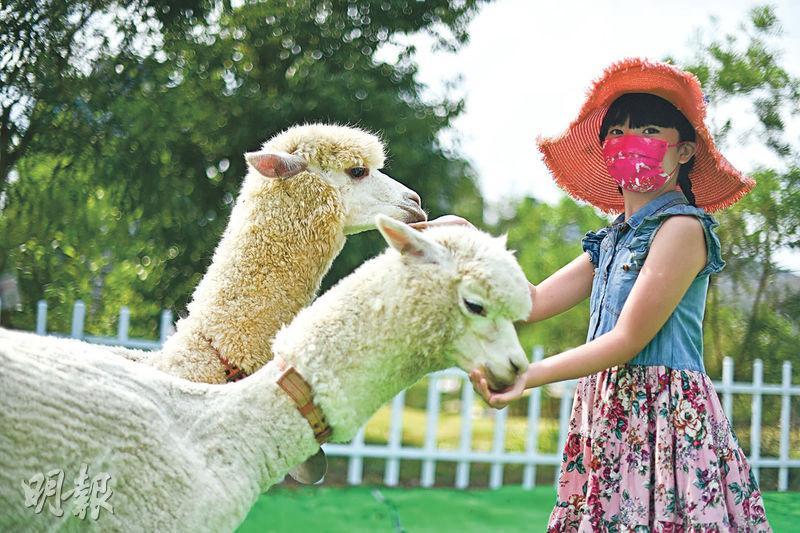 親子農莊一日遊 親親羊駝歎下午茶 坐天鵝觀光船遊湖